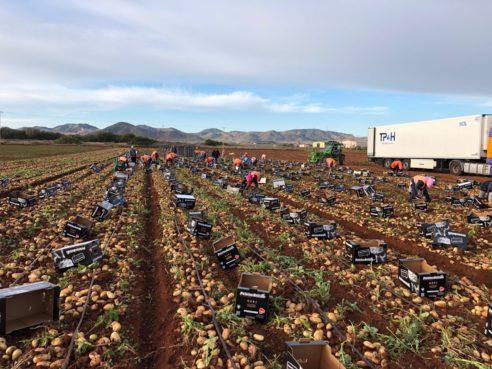 Handgeraapte aardappelen uit Spanje