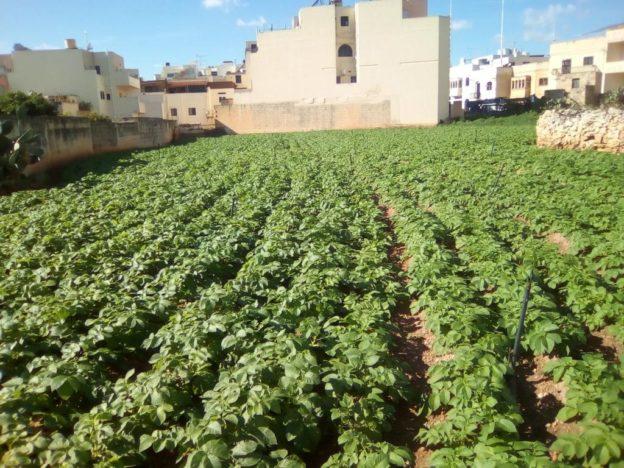 Santé aardappelen op Malta